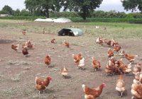 Hühnermobile bei Sandra Speer